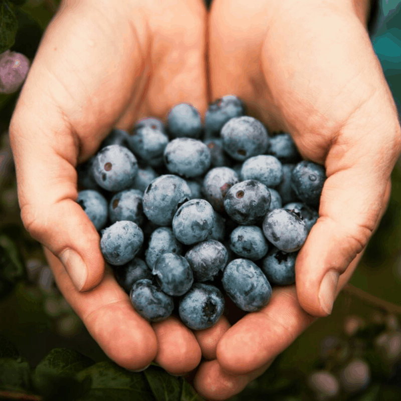 two hands cupped holding blueberries
